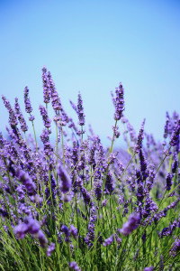 fields of blooming lavender flowers - Provence, France